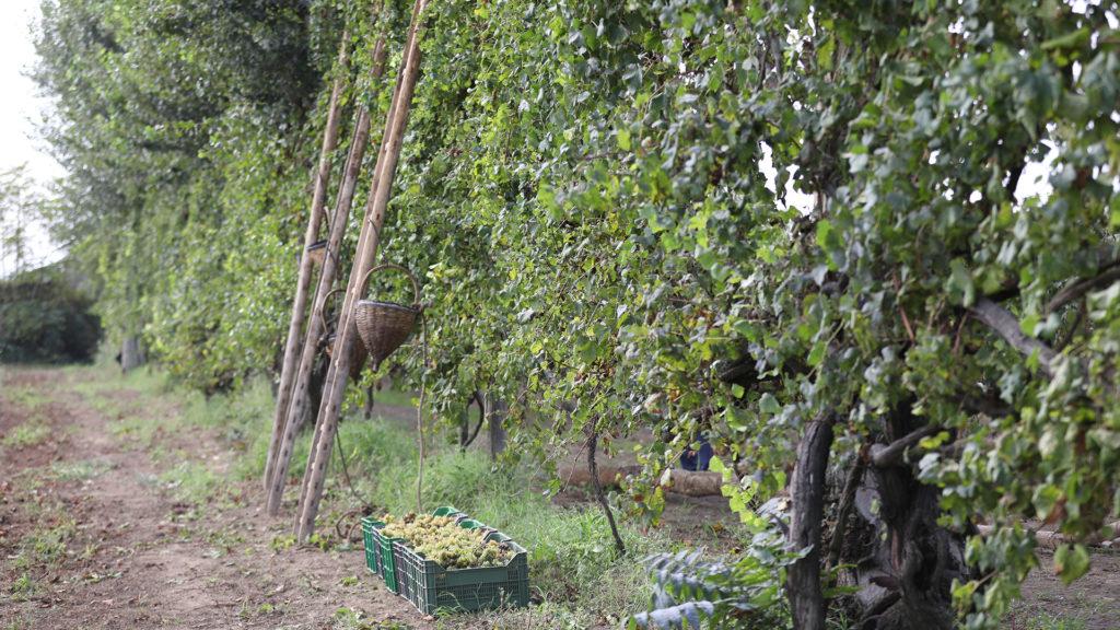 Asprinio grape alberata