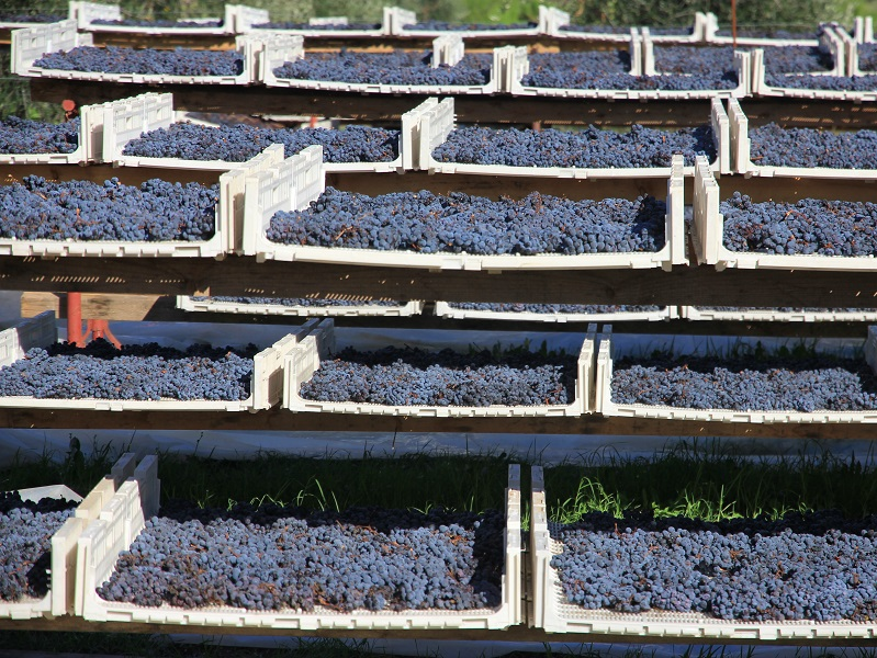 Aleatico grapes drying on the sunny Elba Island